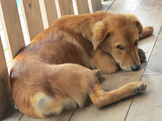 Lucky dog of Sagada